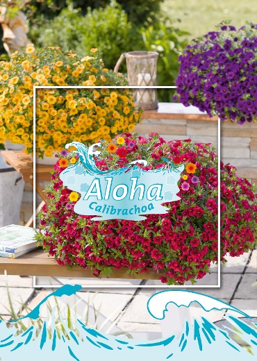 Feel the breeze of the Pacific Islands with our Aloha Calibrachoa!