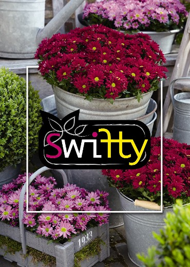 The company Grow Group BV (Naaldwijk) provides Swifty Chrysanthemums with colourful sleeve and labels. Additionally, there are colourful tone-on-tone pots.